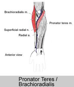 Pronator Teres _ Brachioradialis